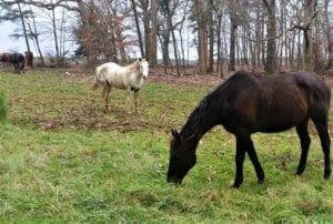Horses graze in fields adjacent to Schenck Forest.
